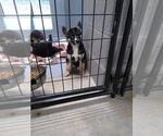 Small #8 German Shepherd Dog-Siberian Husky Mix