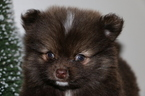PomShi Puppies