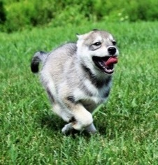 Siberian Husky Puppy for sale in JEFFERSON, MD, USA