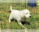 Puppy 4 Jack-A-Poo