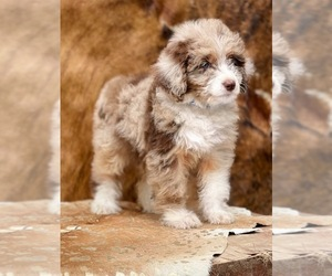 F2 Aussiedoodle Puppy for Sale in WESLEY CHAPEL, Florida USA