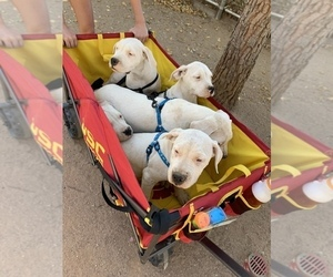 Dogo Argentino Puppy for Sale in BEAUMONT, California USA