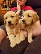 Golden Retriever Puppy For Sale in BLUE MOUNDS, WI, USA