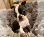 Small Boston Terrier