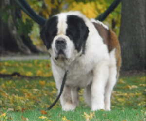 Saint Bernard Puppy for sale in KALEVA, MI, USA
