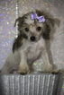 Chinese Crested Puppy For Sale in LABELLE, FL, USA