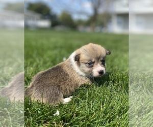 Pembroke Welsh Corgi Puppy for sale in SULLIVAN, IL, USA