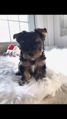 Yorkshire Terrier Puppy for sale in OMAHA, NE, USA