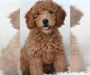 Goldendoodle-Poodle (Miniature) Mix Puppy for sale in ITASCA, TX, USA