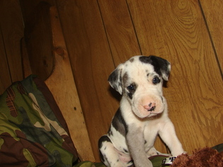 Great Dane Puppy For Sale in ADOLPHUS, KY