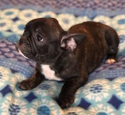 French Bulldog Puppy For Sale in CHARLESTON, SC, USA