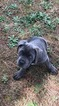 Beautiful female cane corso for sale