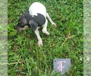 Rat Terrier Puppy for sale in NEW FREEDOM, PA, USA