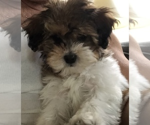 Shih-Poo Puppy for sale in SAN FRANCISCO, CA, USA