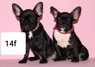 French Bulldog Puppy for sale in PHILA, PA, USA