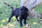 Labrador Retriever Puppy For Sale in LOS ALAMOS, CA, USA