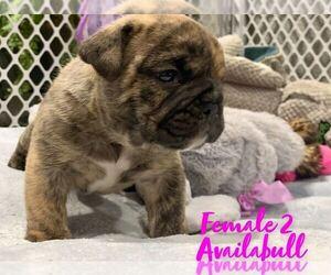Bulldog Puppy for sale in JOLIET, IL, USA