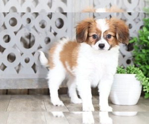 Papillon Puppy for sale in MOUNT VERNON, OH, USA