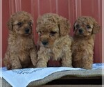 Small Photo #3 Poodle (Miniature) Puppy For Sale in WOODWARD, PA, USA