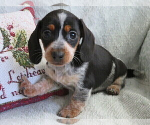 Dachshund Puppy for sale in SHILOH, OH, USA