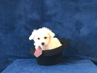View Ad Maltese Puppy For Sale Texas Fort Worth Usa