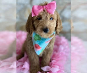Goldendoodle-Poodle (Miniature) Mix Puppy for Sale in KISSIMMEE, Florida USA