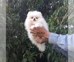 Small #26 Pomeranian