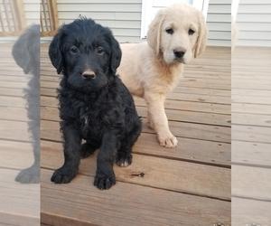 Labradoodle Puppy for sale in APPOMATTOX, VA, USA