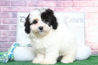 Razz Perfect Female LhasaPoo Puppy