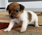 Puppy 6 Jack Russell Terrier