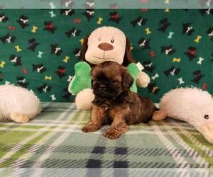 Shih Tzu Puppy for Sale in NORTH, North Carolina USA