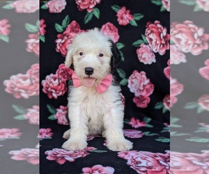 Old English Sheepdog Dog for Adoption in PORT DEPOSIT, Maryland USA