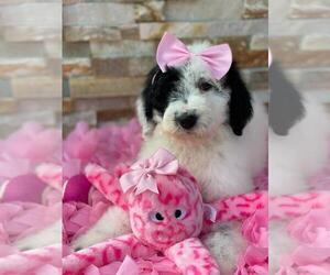 Poodle (Standard) Puppy for sale in KISSIMMEE, FL, USA