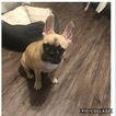 Faux Frenchbo Bulldog Puppy For Sale in COMMERCE, CA, USA
