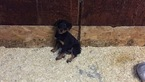 Rottweiler Puppy For Sale in CARMICHAEL, CA, USA