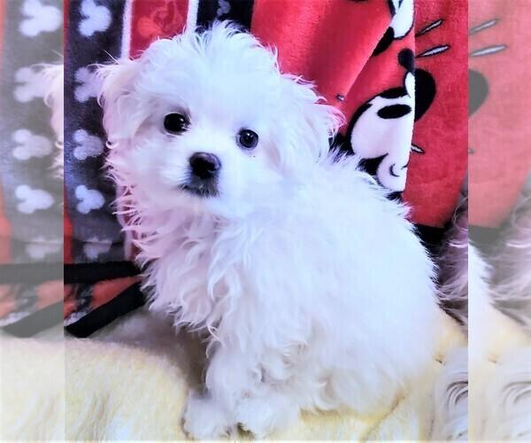 Medium Photo #3 Maltese Puppy For Sale in PISCATAWAY, NJ, USA