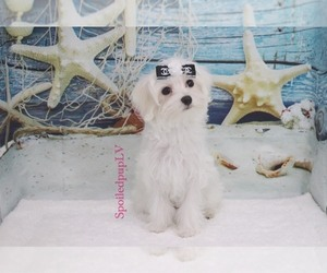 Maltese Puppy for Sale in LAS VEGAS, Nevada USA