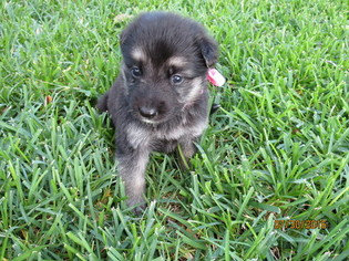 View Ad German Shepherd Dog Litter Of Puppies For Sale Near Texas