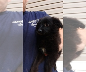 Labrador Retriever-Pomeranian Mix Puppy for sale in SPENCER, TN, USA