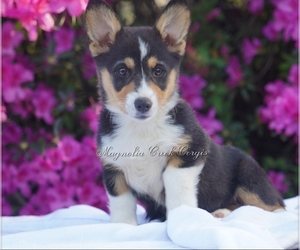Pembroke Welsh Corgi Puppy for Sale in CRESTVIEW, Florida USA