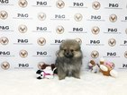 Pomeranian Puppy For Sale near 91780, Temple City, CA, USA