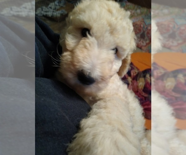 Medium Photo #4 Poodle (Standard) Puppy For Sale in NEW LONDON, IA, USA