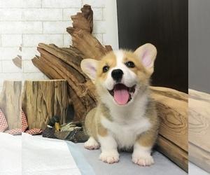 Pembroke Welsh Corgi Puppy for Sale in SAN FRANCISCO, California USA
