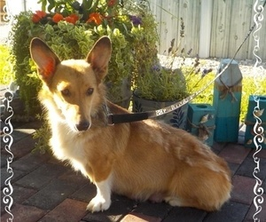 Mother of the Pembroke Welsh Corgi puppies born on 06/10/2021