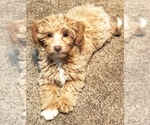 Small Photo #1 YorkiePoo Puppy For Sale in GEORGETOWN, TX, USA