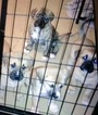 Boxita Puppy For Sale in APPLETON, WI
