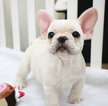 French Bulldog Puppy For Sale in SEATTLE, WA, USA