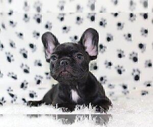 French Bulldog Puppy for sale in GREAT FALLS, VA, USA
