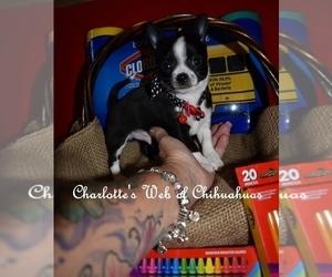Chihuahua Puppy for sale in HAMPTON, VA, USA