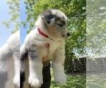 Small #8 Australian Shepherd-German Shepherd Dog Mix